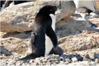 從南極阿德利企鵝的角度看牠們的世界