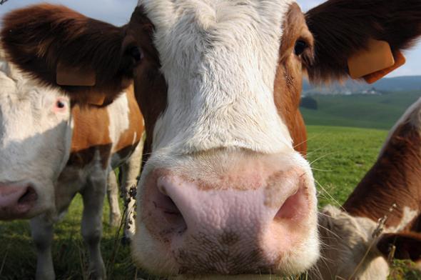 新裝置監控牛的飲食,以延緩全球増溫的問題