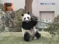 一隻貓熊的忍耐是有限度的!(怒)