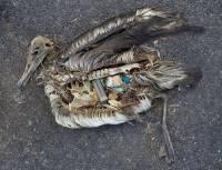 中途島上的信天翁,肚子內的是塑膠垃圾