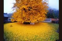 唐代千年銀杏落下滿地黃金葉