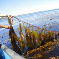 [新技新報]海帶 + 大腸桿菌 = 新能源?